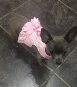 Chihuahua-wearing-dress