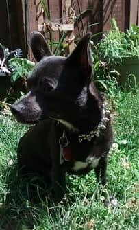 black-chihuahua-in-yard