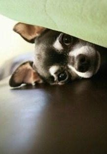 Chihuahua puppy hiding under blanket