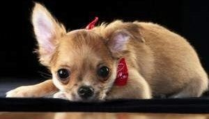 Chihuahua puppy dental care