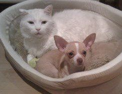 Chihuahua and cat in same bed