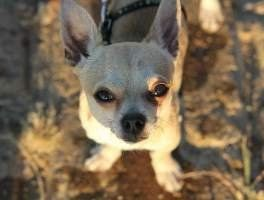 Chihuahua Vomiting | Exactly What to Do to Help