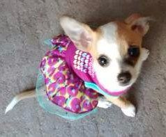 female Chihuahua dog in pink dress