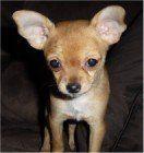 Chihuahua big ears- tan and cream