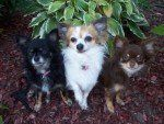 Different colors of Chihuahua dogs