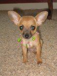 Chihuahua puppy with large ears