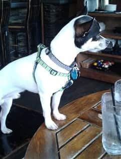 Chihuahua at a restaurant