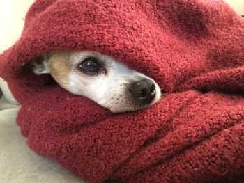 Chihuahua dog in red towel
