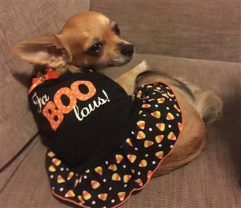 chihuahua-halloween-boo-dress