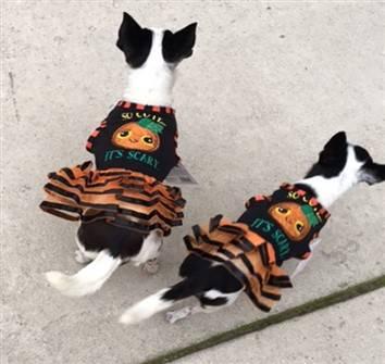 Chihuahua Halloween dress