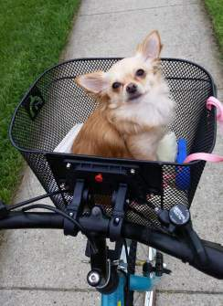 Chihuahua in bike basket