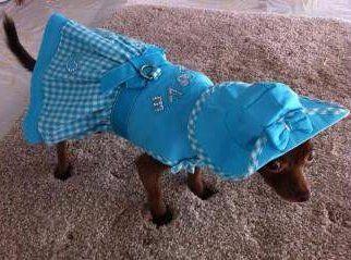 Chihuahua in dress