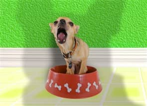 Chihuahua in food bowl, hungry