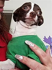 Chihuahua in green shirt
