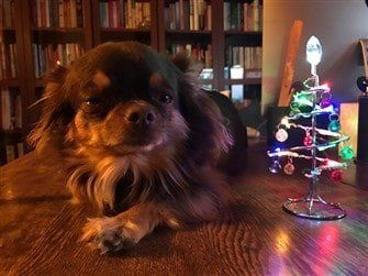 chihuahua-near-small-christmas-tree