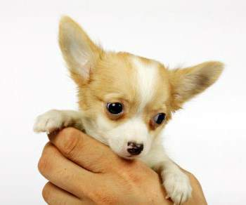 Chihuahua Names | Perfect and Cute Names for Your Chi Puppy