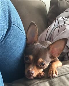 Chihuahua next to owner on sofa