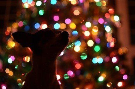 - It's A Chihuahua Christmas