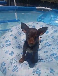 Chihuahua on pool float