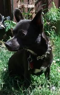 Chihuahua outside in grass