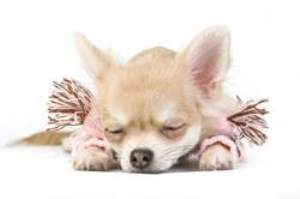 female Chihuahua puppy laying down