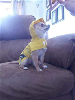 Chihuahua in rain jacket