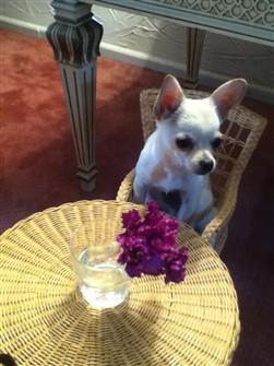 chihuahua-sitting-at-table
