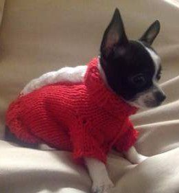 Chihuahua with sweater on