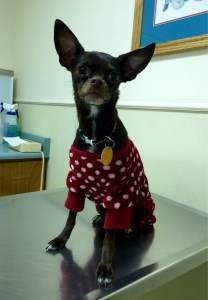 Chihuahua in red sweater with polka dots