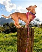 Chihuahua up high on pole