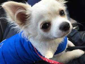 Chihuahua in warm blue vest