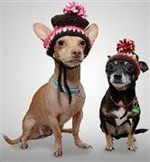 chihuahua-wearing-hat