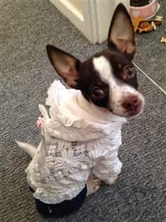 Chihuahua wearing white sweater