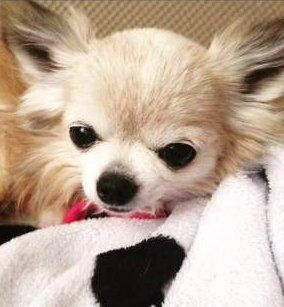 Chihuahua bundled up in blanket