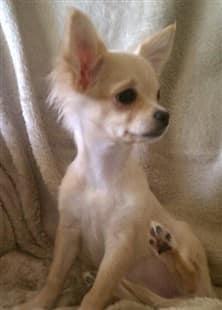 cream colored Chihuahua puppy, long haired