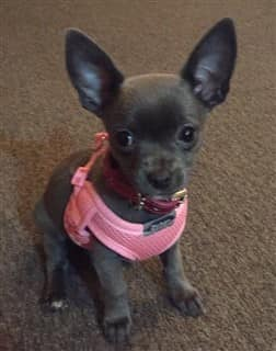Chihuahua Smells and Odors