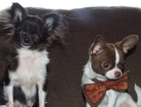 Two types of Chihuahua dogs