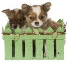 Dogs] Breed: Chihuahua, Age: Adult, Registered Chihuahua Pair ...