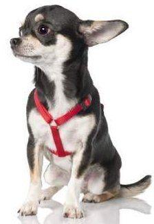 adult Chihuahua dog