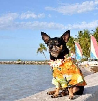Senior Chihuahua dog on beach