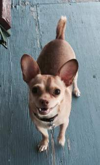 happy looking Chihuahua dog