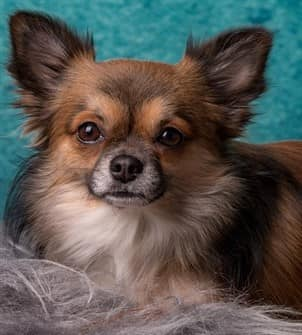 Long haired adult Chihuahua