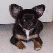 Chihuahua Breeder New York State