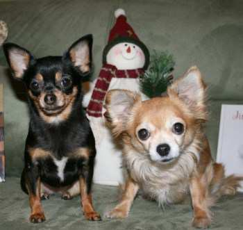 two female Chihuahuas