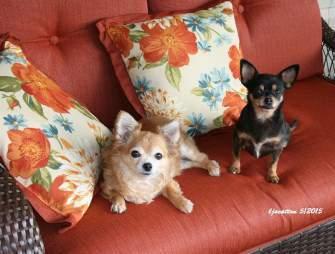 En El Sofa Chihuahua