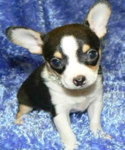 Black and tan Chihuahua with white markings