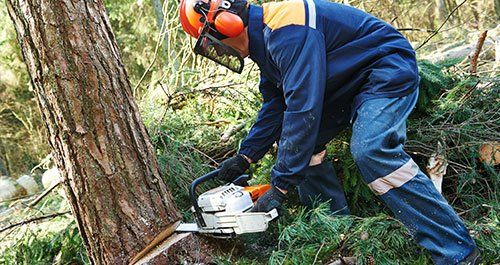Worker cutting firewood timber tree in forest
