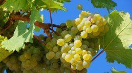 grappoli uva, acini