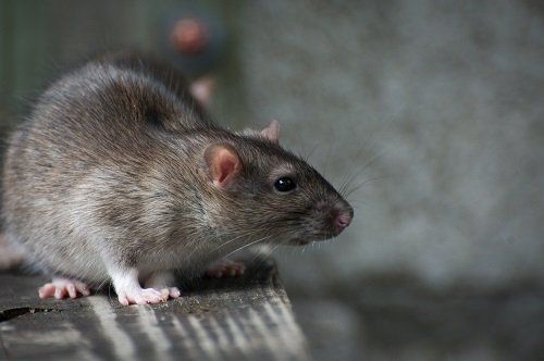 Rodent - a common pest