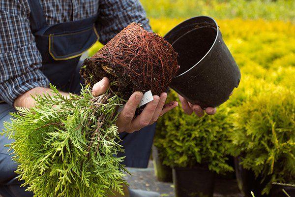 Giardiniere in tute ha preso la pianta fuori dal vaso , esamina le radici
